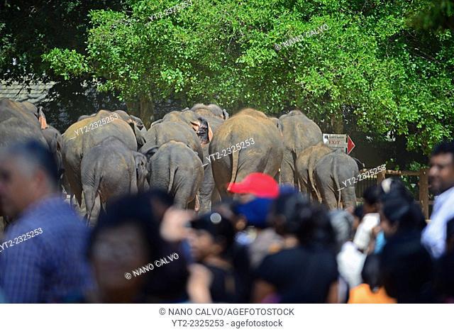 Elephants are taken to the river, through the village, for taking a bath. Pinnawala Elephant Orphanage in Sabaragamuwa Province of Sri Lanka
