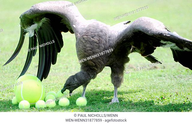 Advantage Moccas: Moccas the Andean Condor who loves playing with tennis balls.Moccas was hatched 26th April 2015 at the International Centre for Birds of Prey...