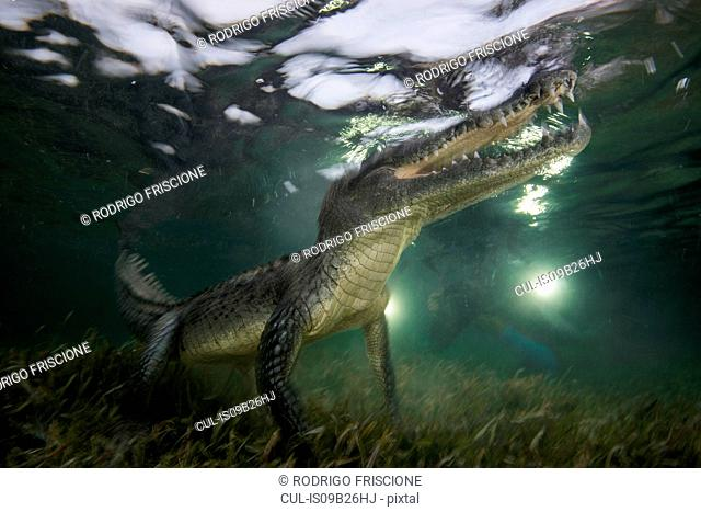 American crocodile (crodoylus acutus) in the shallows of Chinchorro Atoll, Mexico