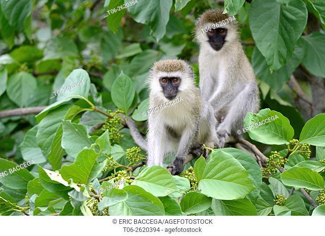 Vervet monkeys (Chlorocebus aethiops) in tree, Akagera National Pak, Rwanda, Africa