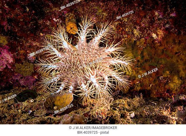 Crown-of-thorns Starfish (Acanthaster ellisii), Palau