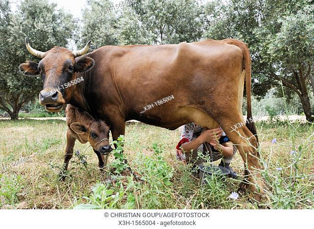 milking scene in a village of Oum-er-Rbia valley, Khenifra region, Middle Atlas, Morocco, North Africa