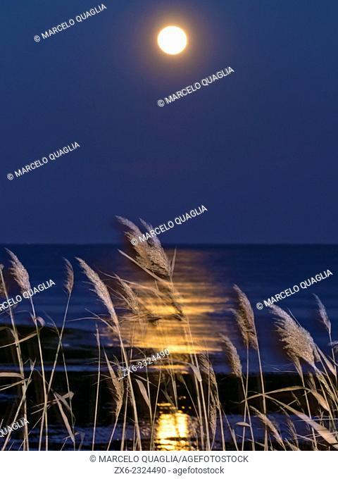 Full moon at Alfacs Bay and Common Reeds. Ebro River Delta Natural Park, Tarragona province, Catalonia, Spain