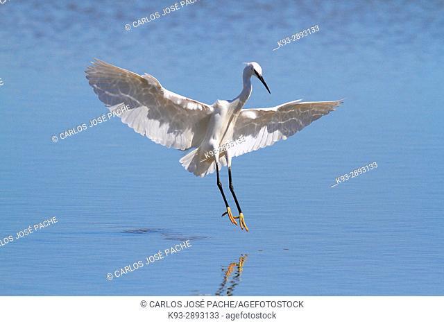 Little egret (Egretta garzetta) in wetland. Spain