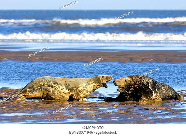 gray seal (Halichoerus grypus), two individuals lying angrily on the beach, Europe, Germany, Schleswig-Holstein, Heligoland