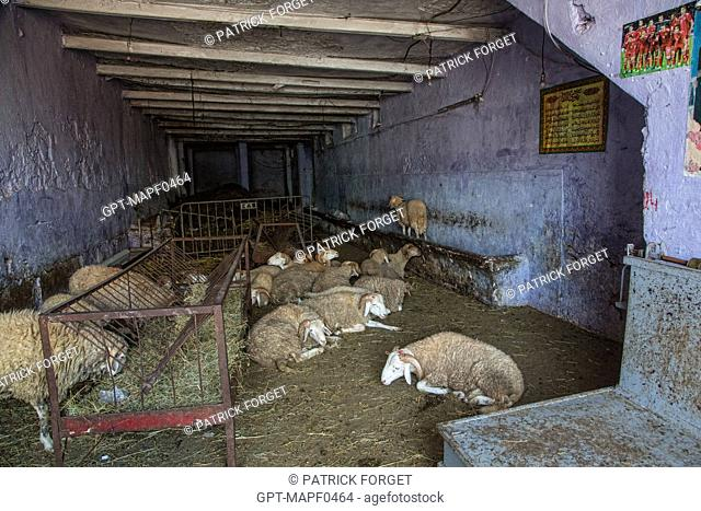 SHEEP FOR SALE IN THE FORMER SLAUGHTERHOUSES OF CASABLANCA, MOROCCO, AFRICA