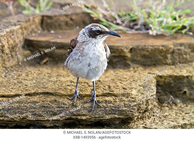 Galapagos mockingbird Mimus parvulus in the Galapagos Island Archipelago, Ecuador  MORE INFO There are a total of 4 endemic species of mockingbirds in the...