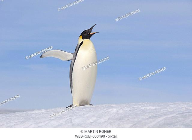 Antarctica, Antarctic Peninsula, Emperor penguin standing with spread wings on snow hill island