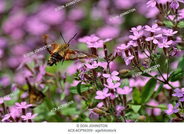 Hummingbird moth (Hemaris thysbe) nectaring garden flowers, Greater Sudbury, Ontario, Canada