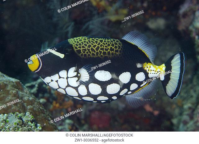 Clown Triggerfish (Balistoides conspicillum), Andiamo dive site, Daram, Misool, Raja Ampat, West Papua, Indonesia