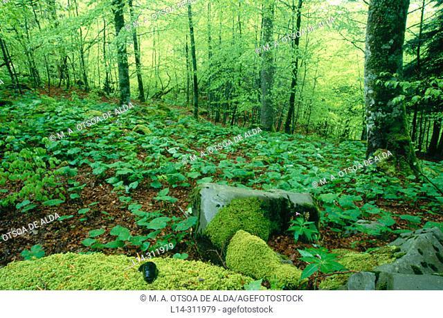 Irati forest. Navarra, Spain