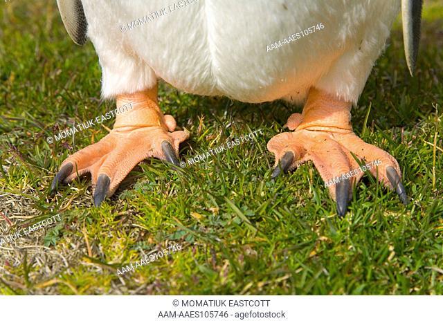 Gentoo Penguin's feet in green grass, fall, Leigh Harbour, Southern Ocean; Antarctic Convergance; South Georgia Island