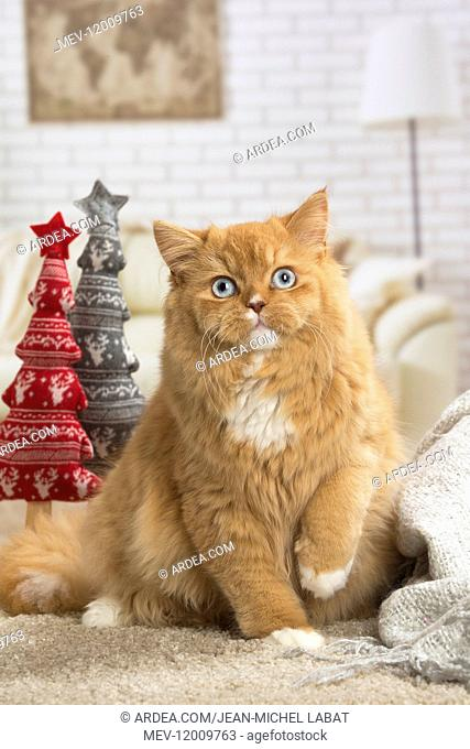 Ginger Alley cat indoors at Christmas