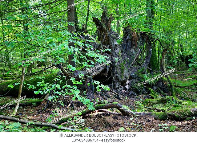 Broken tree roots partly declined against fresh green deciduous stand in mist rain after,Bialowieza forest,Poland,Europe