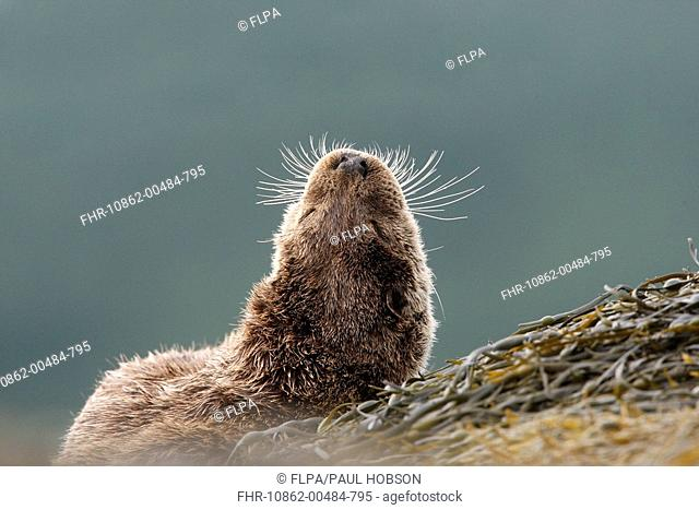 European Otter Lutra lutra adult, close-up of back of head, resting on seaweed, Isle of Mull, Inner Hebrides, Scotland
