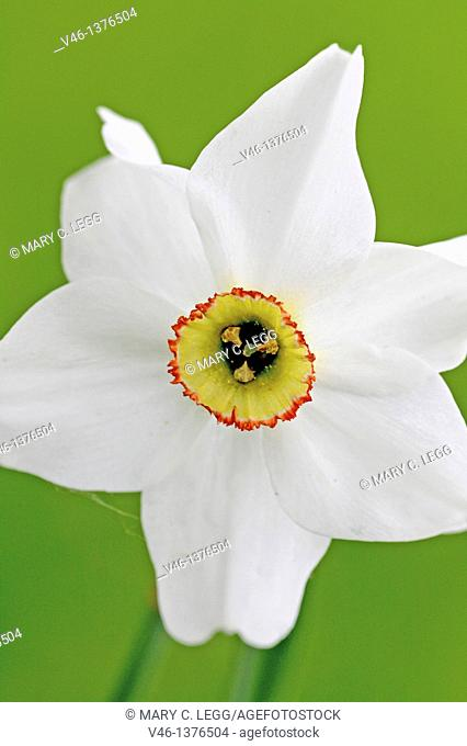 Poet\s narcissus, Narcissus poeticus  Narcissus with distinct red ring about the corona  Essence of this narcissus is used in perfumes  Idenitified 371- 287 BC...