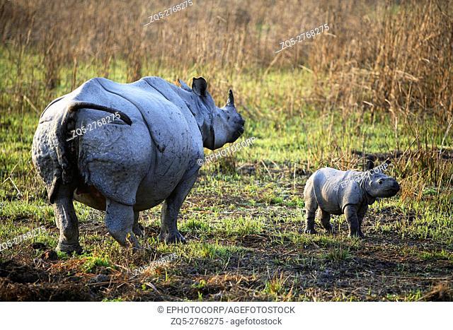 Female one Horned Rhino, Rhinoceros unicornis, with fifteen days young one at Kaziranga National Park, Assam, India
