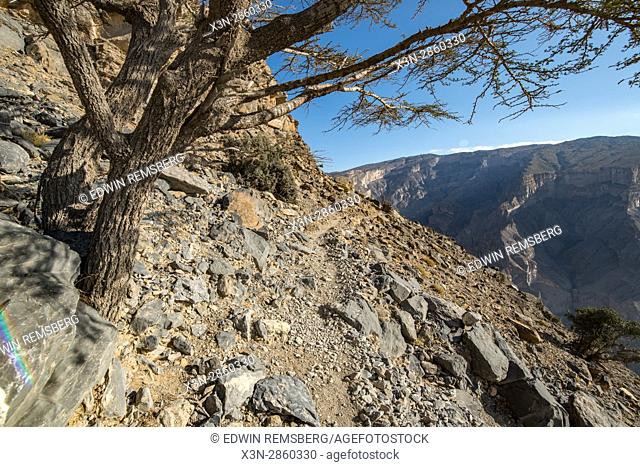 Tree on a mountainside in the canyon of Jebel Shams, Oman