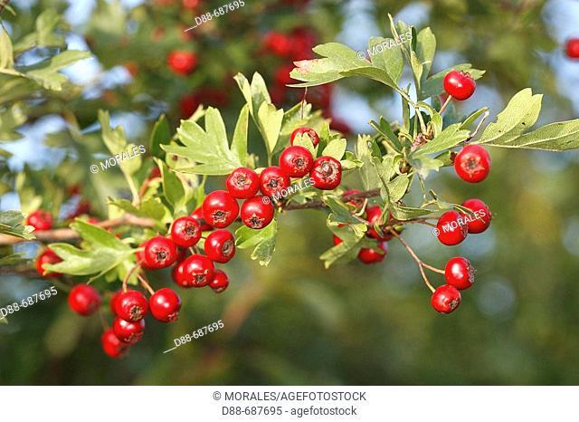 Singleseed Hawthorn (Crataegus monogyna). Marquenterre. France