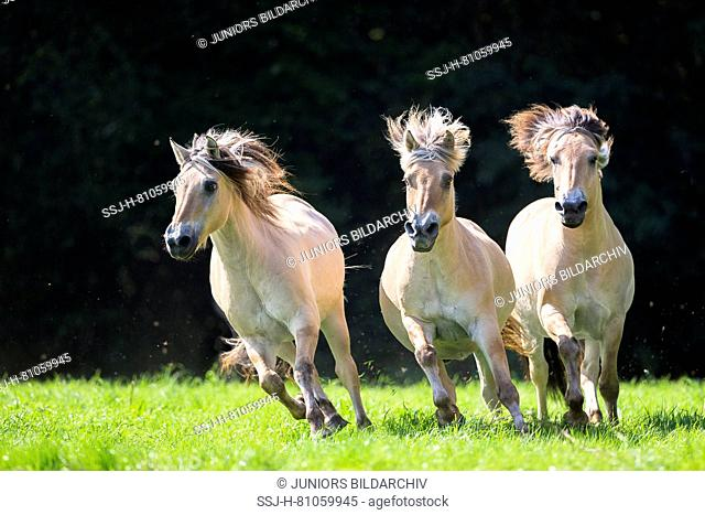Norwegian Fjord Horse. Three adults galloping towards the camera. Germany