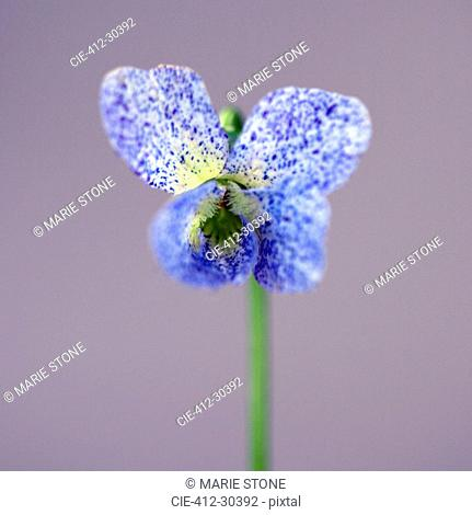 Close up of butterfly-shaped blue viola freckles flower