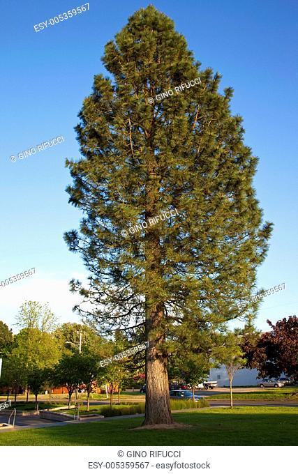 A tall pine tree, Gresham OR