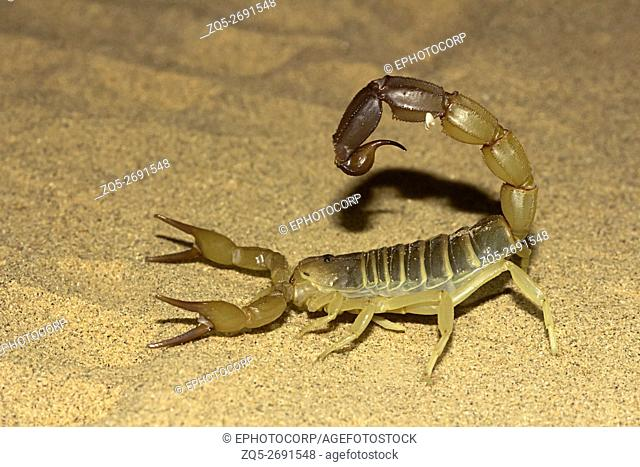 Fattail scorpion or fat-tailed scorpion . Androctonus sp. , Jaisalmer, Rajasthan, India