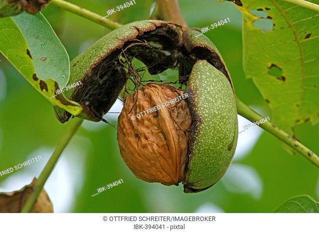 Fruit of Common Walnut (Juglans regia)