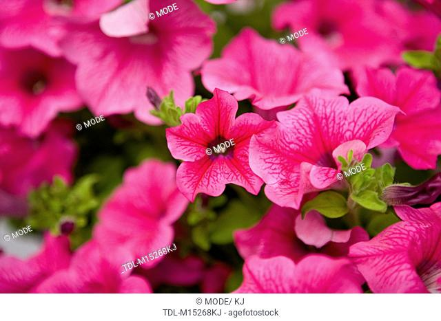 Bright pink petunias, 'Hot Pink' variety