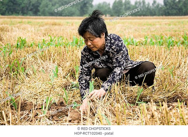 Farmer working in a field, Zhigou, Shandong Province, China