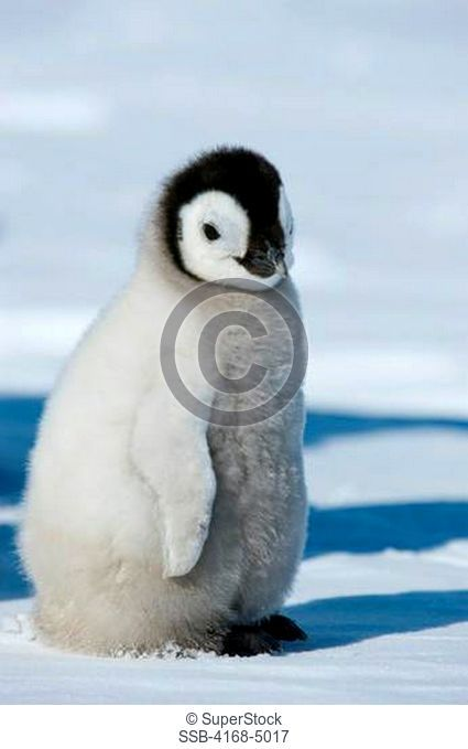 antarctica, weddell sea, snow hill island, emperor penguin colony aptenodytes forsteri, close-up ofchick