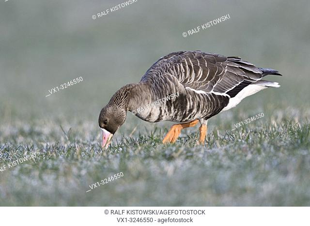 Greater White-fronted Goose / Blaessgans ( Anser albifrons ) in winter, walking over a pasture, feeding on frosted grass, wildlife, Europe