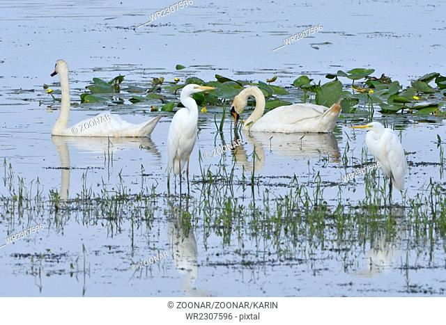 Mute swan and Great egret