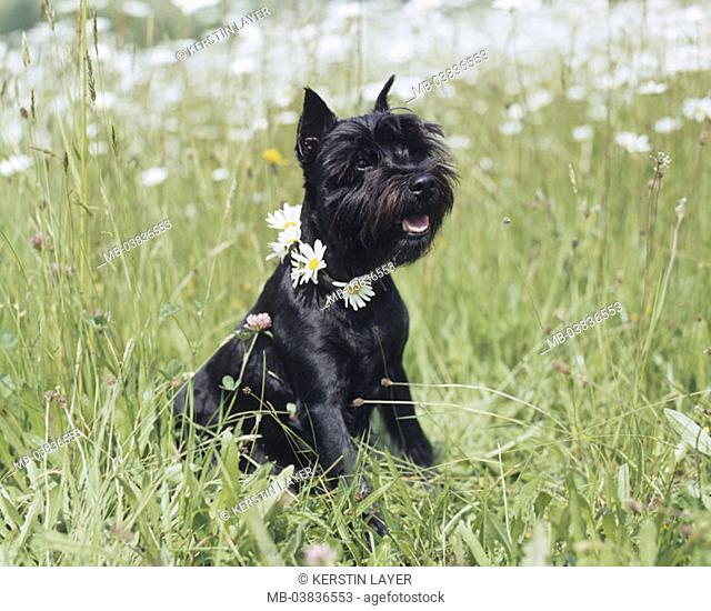 Meadow, dog, dwarf schnauzers, sitting, Neck, Blumenkette,   Animal, mammal, dog, pet, house dog, breed, race dog, grass, sitting, flowers, daisies, attention