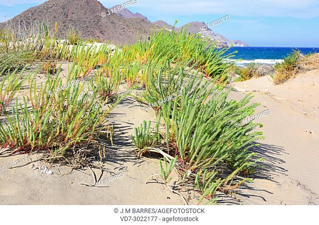 Sea spurge (Euphorbia paralias) is a perennial herb native to Mediterranean Basin coastline, Portugal, France, Great Britain and Ireland coastlines