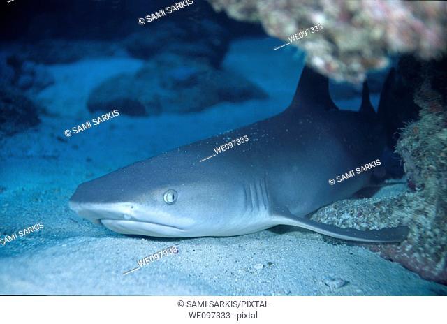 Whitetip Reef Shark (Triaenodon obesus) lying on the sandy ocean floor below Boulari Channel, Noumea Lagoon, New Caledonia