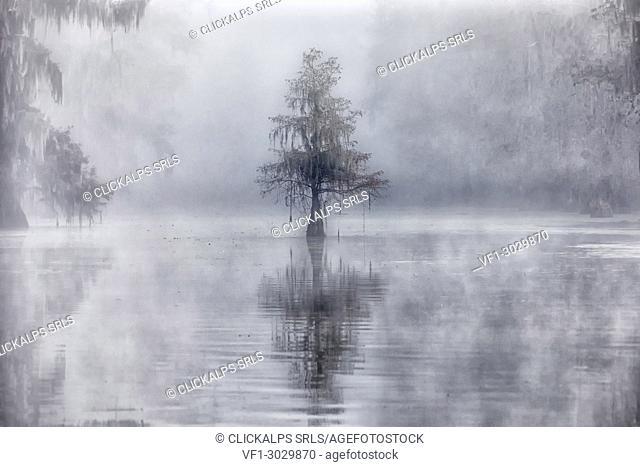 Bald Cypress (Taxodium distichum) in Lake Martin, Breaux Bridge, Atchafalaya Basin, Southern United States, USA; North Americaf