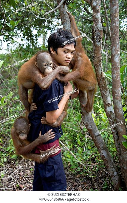 Orangutan (Pongo pygmaeus) caretaker putting two year old infants in tree for forest exploration and training, Orangutan Care Center, Borneo, Indonesia