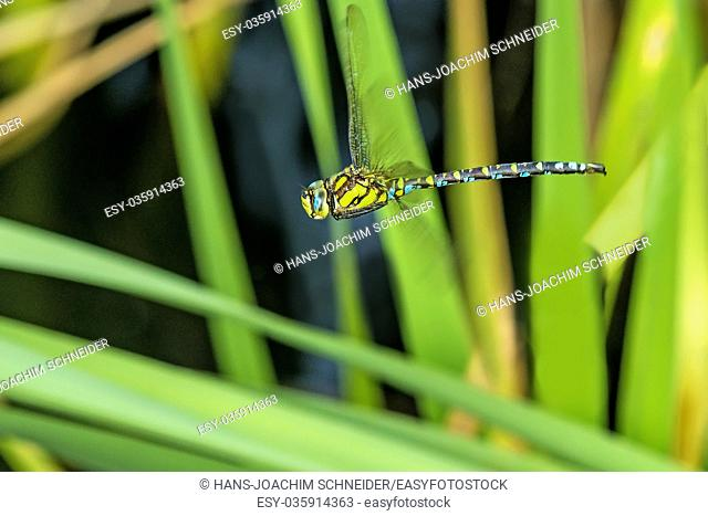 The emperor dragonfly during a flight