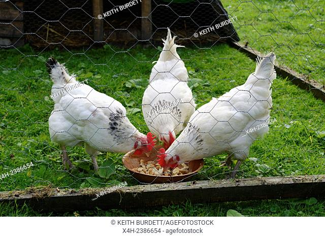 Light Sussex chickens, hens, feedin on household scraps within a mobile fold unit, Wales, UK