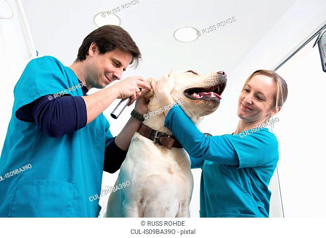 Vets giving labrador retriever ear checkup