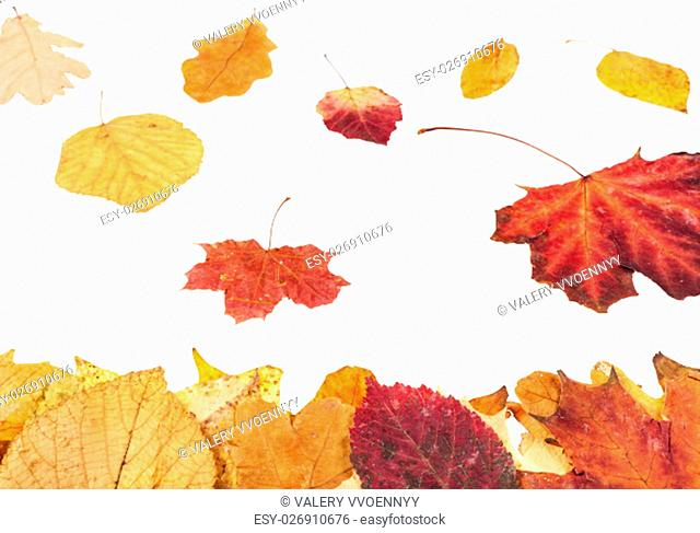leaf litter and falling yellow and red leaves isolated on white background