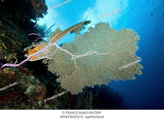 Caribbean Reef with Venus Sea Fan, Gorgonia ventalina, Santa Lucia, Caribbean Sea, Cuba