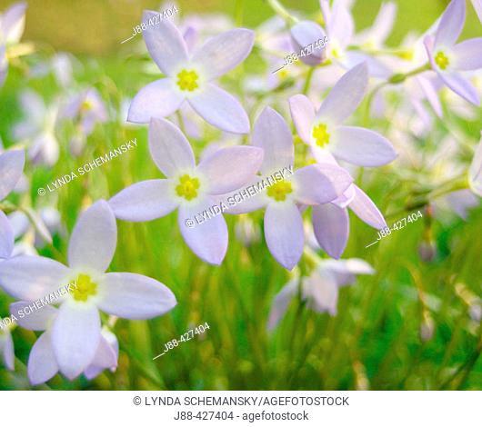 Bluets (Quaker Ladies, Houstonia caerulea, Hedyotis caerulea).  Appalachian foothills, Southeast Ohio - USA