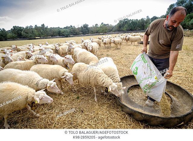 rebaño de ovejas, Cas Canar, Sencelles, mallorca, balearic islands, spain