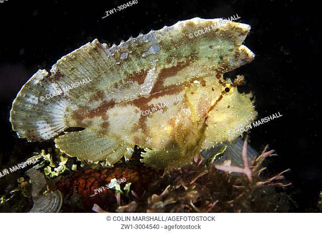 White Leaf Scorpionfish (Taenianotus triacanthus), Night dive, TK1 dive site, Lembeh Straits, Sulawesi, Indonesia