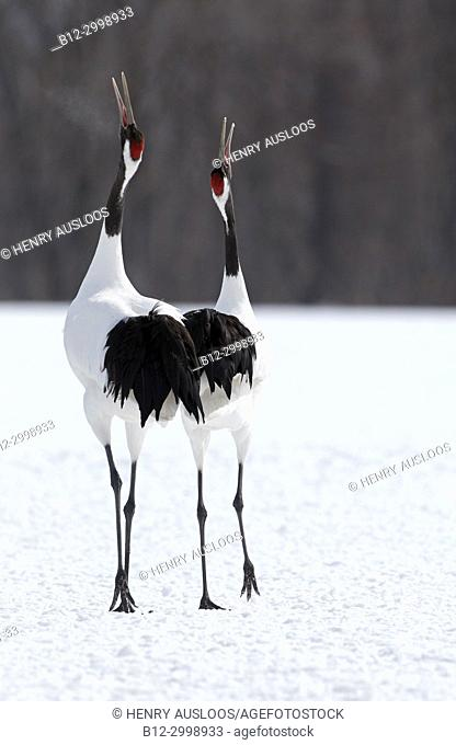 Japanese crane, Red-crowned crane (Grus japonensis) couple dancing and singing, Japan