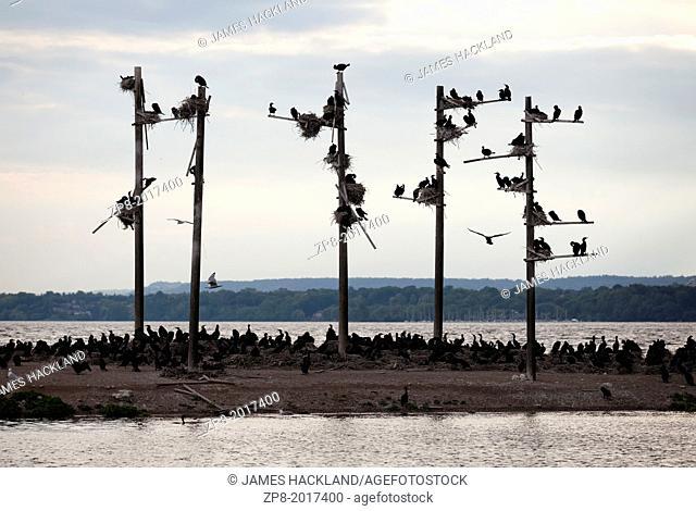 Dozens of cormorants take over a small island, Hamilton, Ontario, Canada