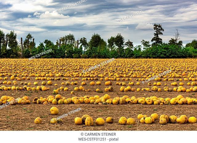 Slovenia, Bovec, Styrian oil pumpkin field