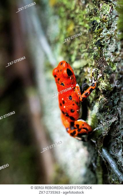 Strawberry Poison Frog (Dendrobates pumilio), adult, Bastimentos National Park, Bocas del Toro, Panama. The strawberry poison frog or strawberry poison-dart...